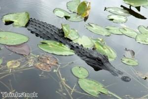 13ft alligator halts golf tournament in Florida