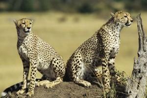 Impala jumps into car to evade chasing cheetahs