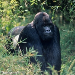 Gorilla gets its own back on taunting kids