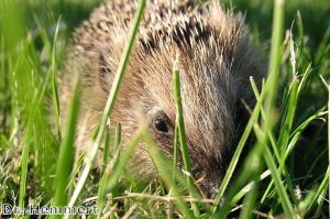 7ft hedgehog 'appears in south London'