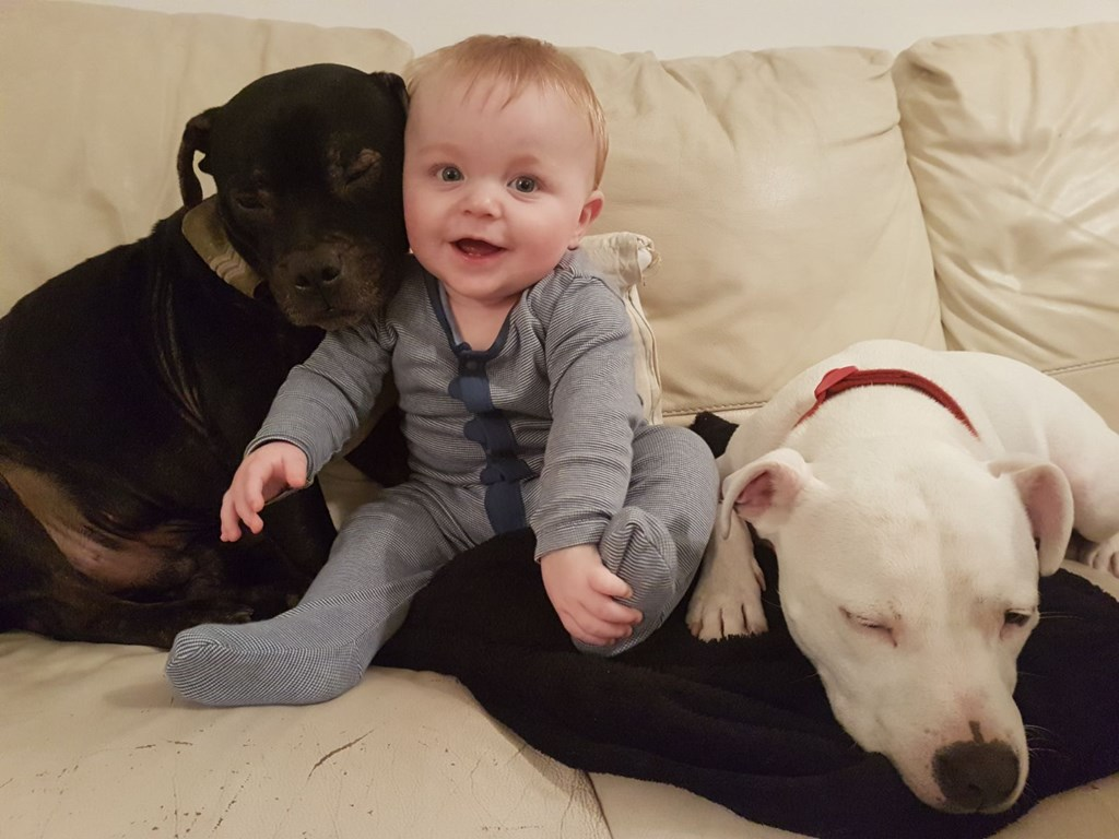 This is a true Staffordshire Bull Terrier,the nanny dog.