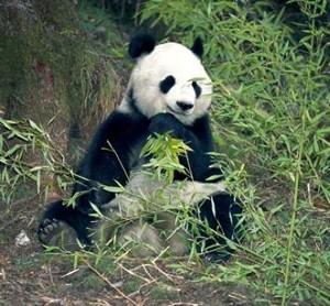 Female panda 'gets flirty'