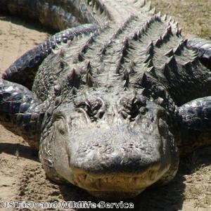 Florida teenager catches 800lb alligator