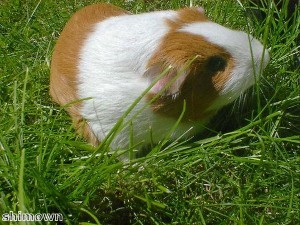 Kung Fu guinea pig frightens dogs
