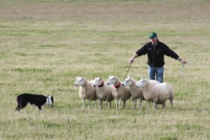 Man spends world record £8.4k on sheepdog