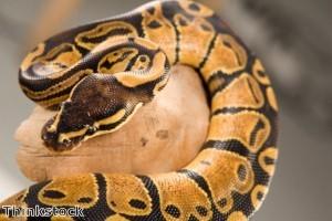 Man takes bite out of python