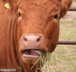 Sussex cows 'join online dating game'