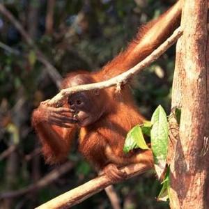 Orangutan awarded status as 'non-human person'
