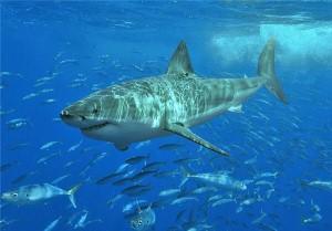 Shark Whisperer hypnotises Great White