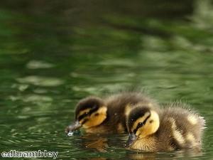 Cat breastfeeds runaway ducklings
