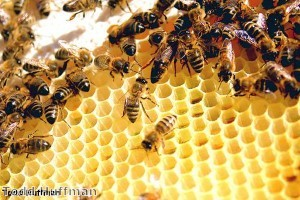 Why not to urinate on a beehive