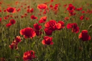 The history of the poppy